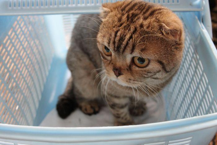 Продам кота породы скоттиш фолд